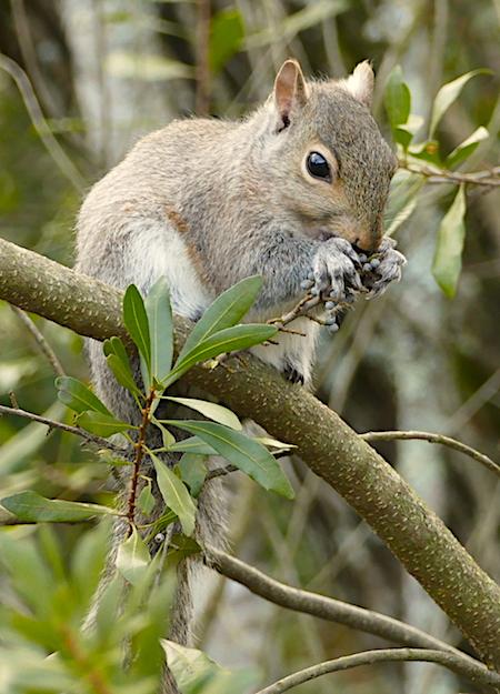 Gray squirrel eats berries