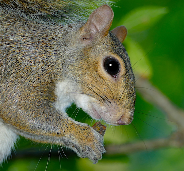 Gray squirrel eats nut