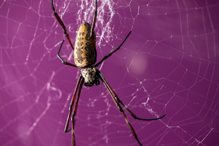 A close-up of an orb weaver in its web against a purple background.