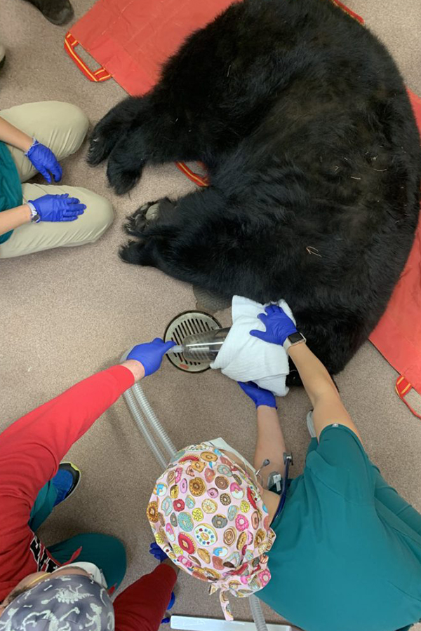 Vet hold rag over bear's eyes