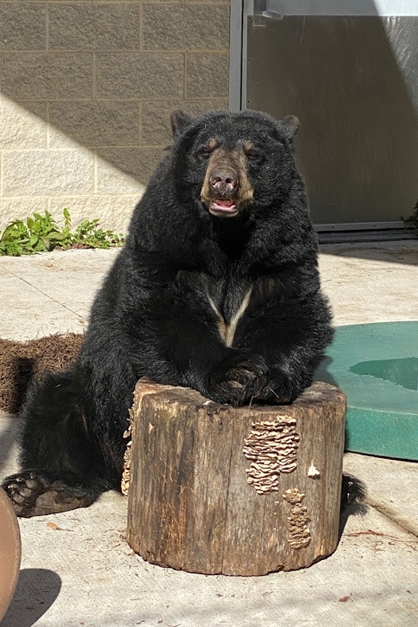 Bear leans against log and looks at camera.