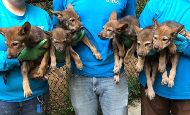 Six wolf pups