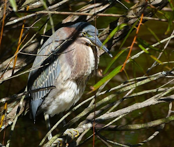 Green heron in brush