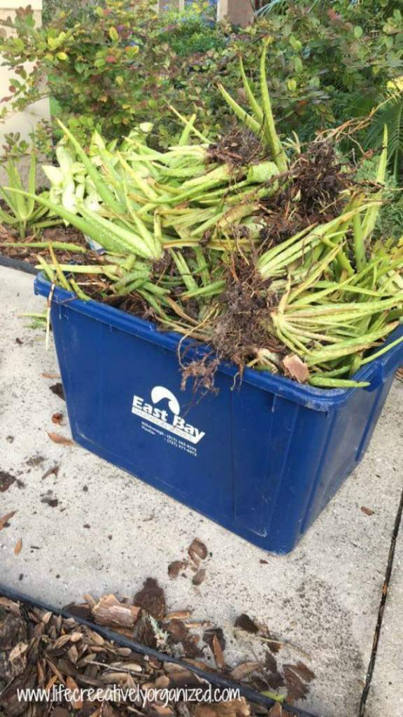 Be neighborly - share plants! Aloe plants thinned from garden, ready to share!