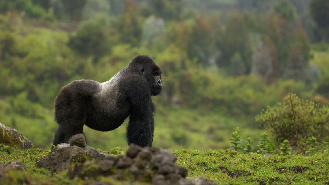 Gorillas hum and sing while they eat