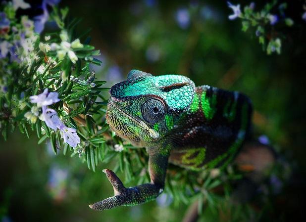 Ecco come i camaleonti cambiano colore  LifeGate
