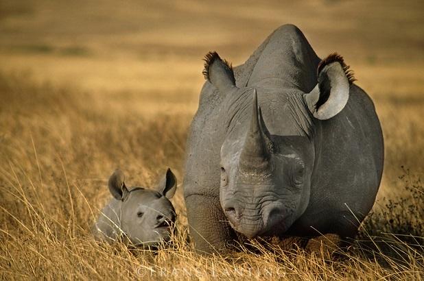 Rinoceronte nero in via di estinzione venduto allasta per