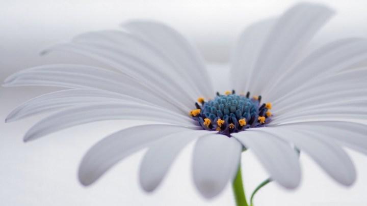 white_osteospermum_flower-wallpaper-1600x900