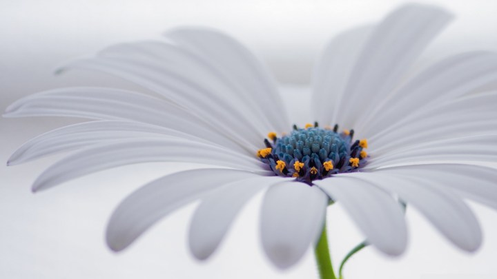white_osteospermum_flower-wallpaper-1600x900