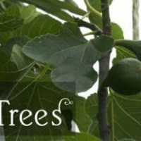 The Fig Tree; The Leaves and The Fruits