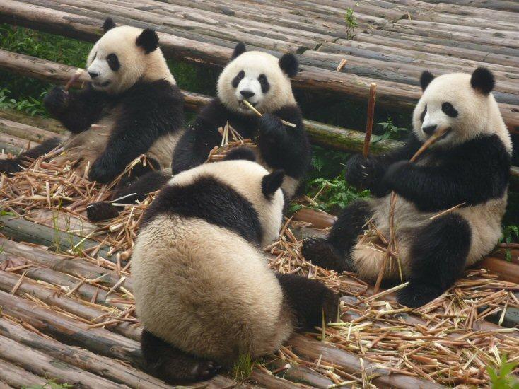 Giant Pandas at Tiergarten Schönbrunn