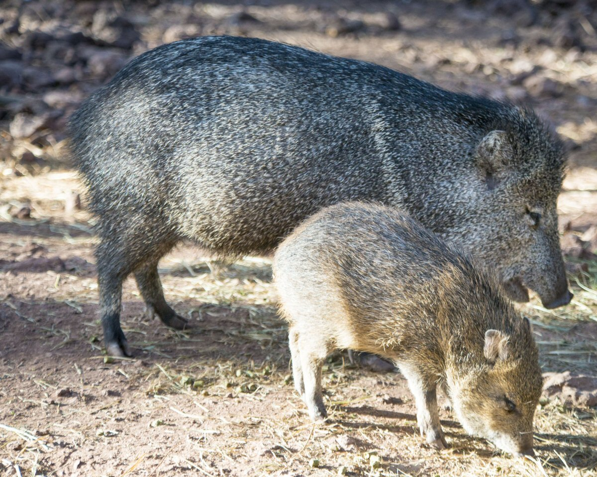 Spot Javelina in Arizona