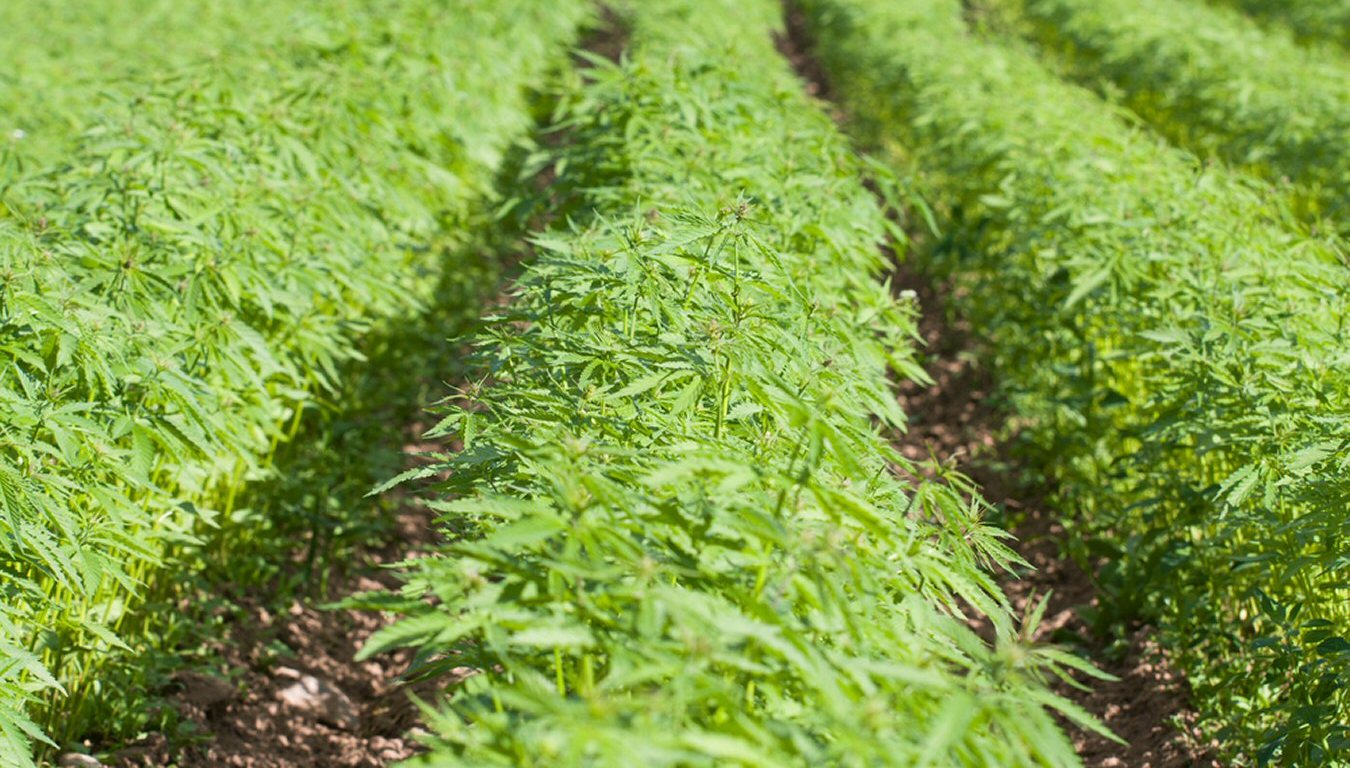organically grown hemp
