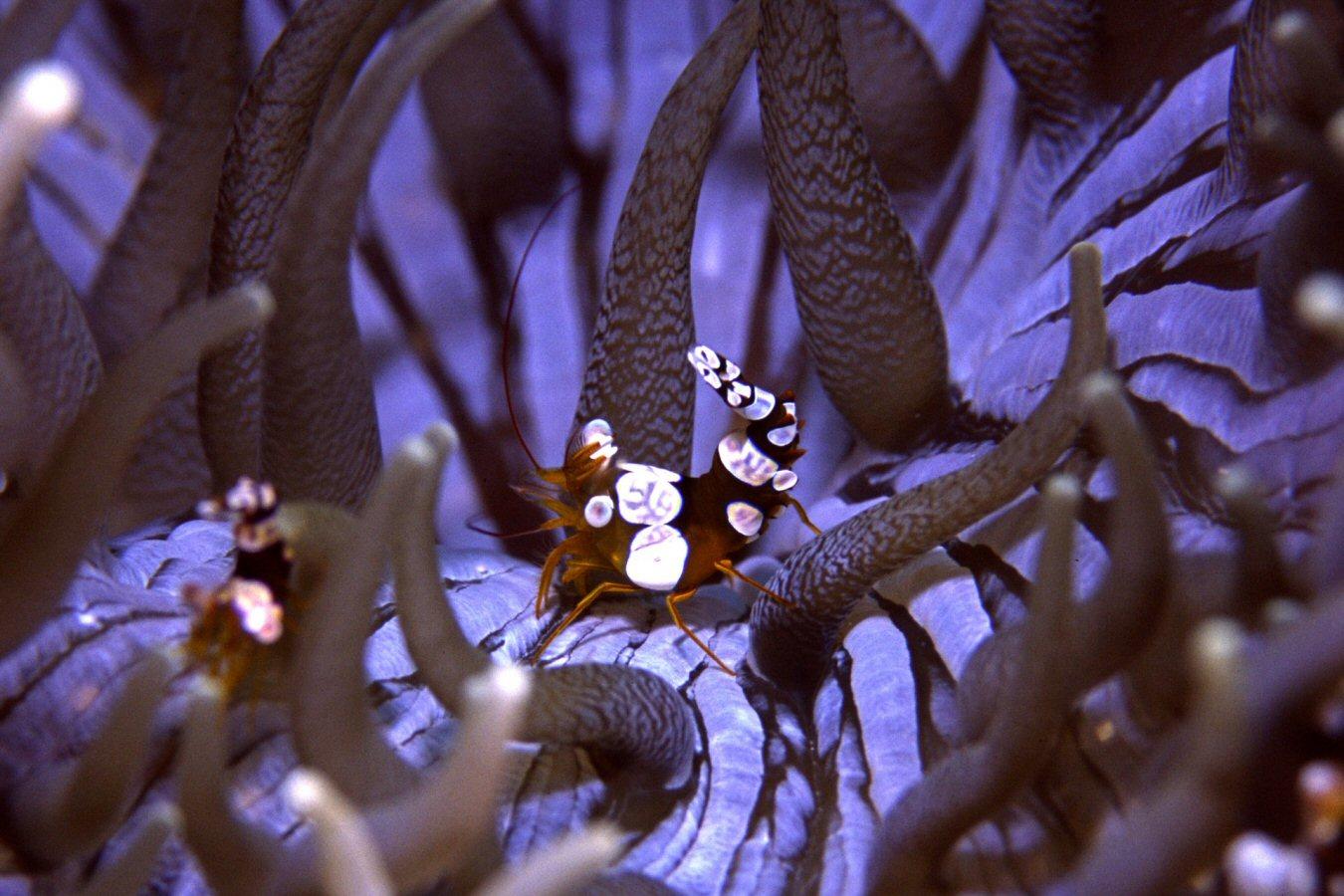 white saddle shrimp similan islands