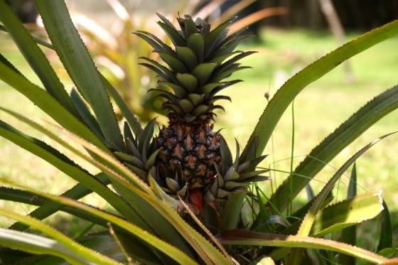 mayfield falls pineapple