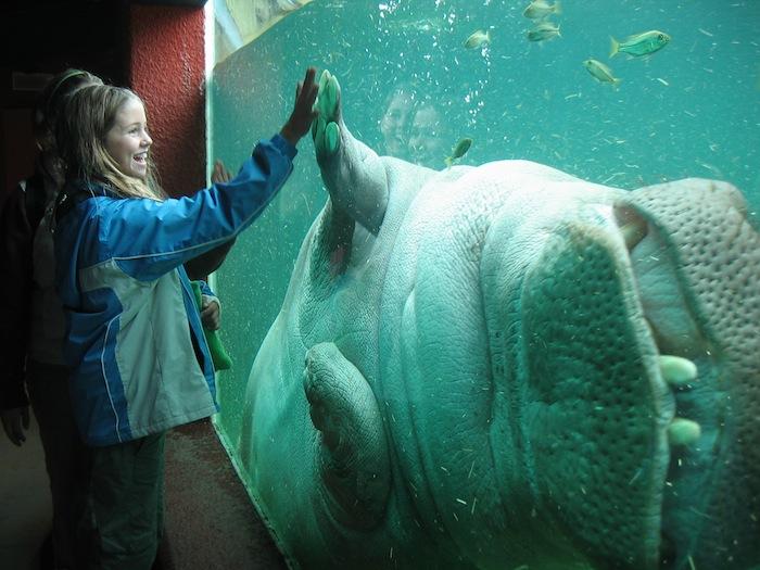Hippopotamus_Granby_Zoo