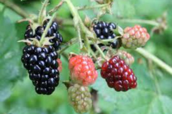 can't afford summer camp, blackberry bush
