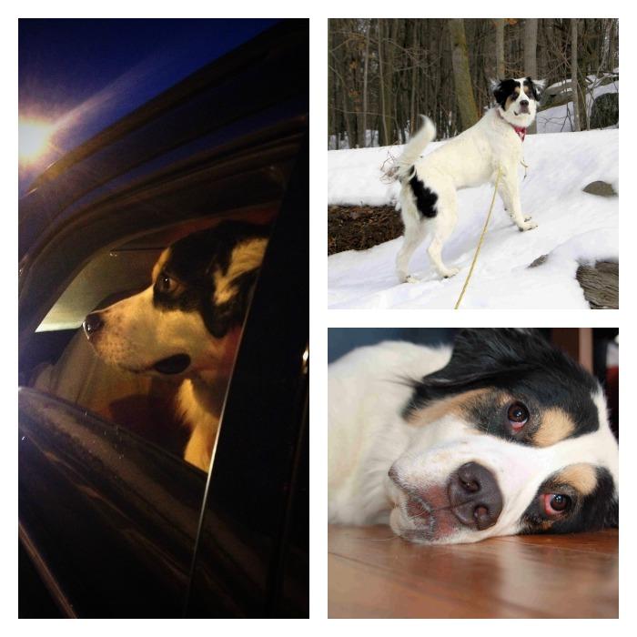 hopeful hearts; rescue dog adoption tips