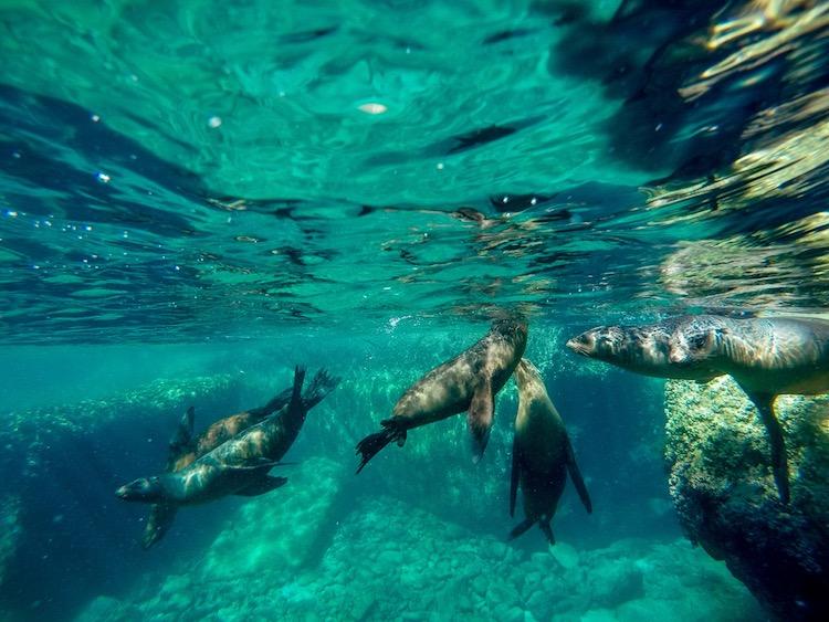 Best Adventure Tours in Cabo, Swimming with Sea lion pups, Isla Espíritu Santo