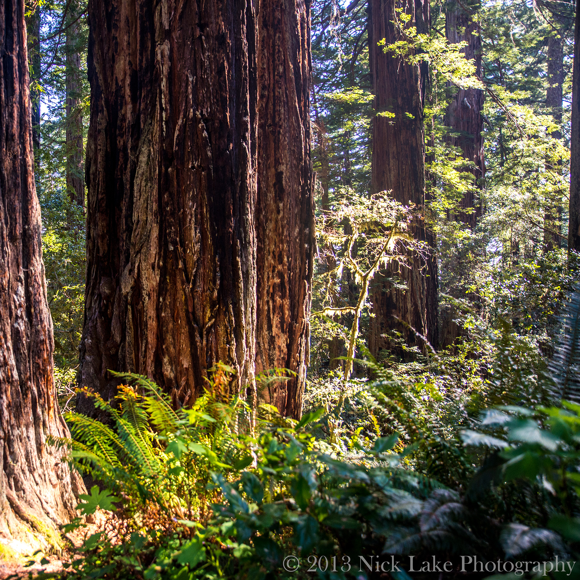 Often shrouded in thick fog, we were able to photograph the Redwoods lit by filtered sunshine