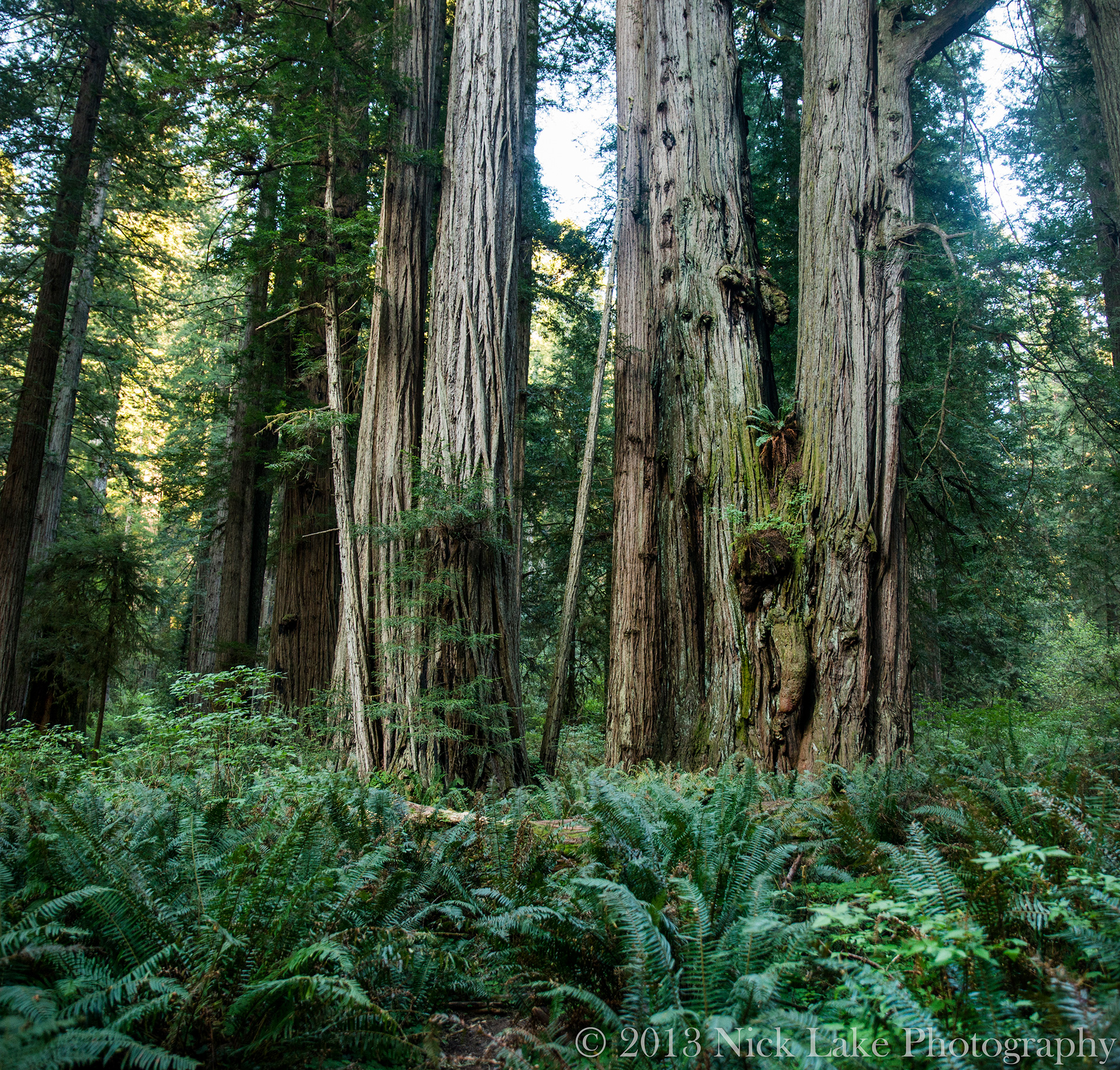 Giant, gnarly redwoods and dense understory create a mystical aura
