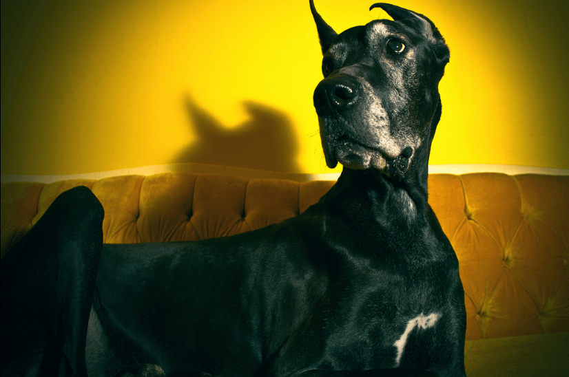 10 Best Dogs for Apartment Living - Great Dane