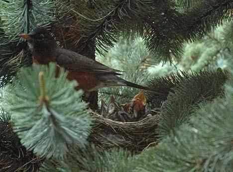 Nesting Robin