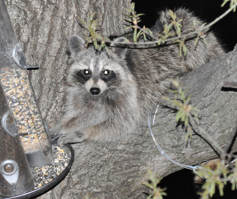 Raccon grabbing the feeder