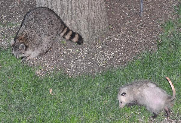 Raccon and Possum