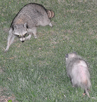 Raccon and Possum Standoff