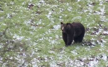 Black Bears in Yellowstone
