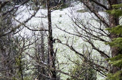 Black Bears in Yellowstone