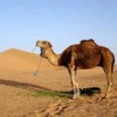 camel in dream
