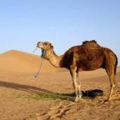 Camel Dream