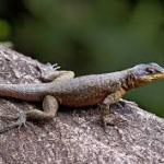 lizard dream meaning