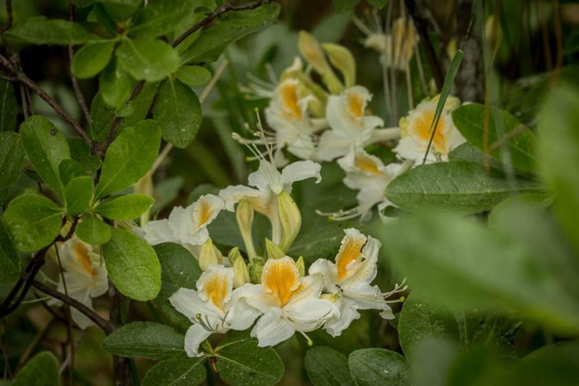Fragrant azaleas in Wawona