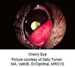cherry_eye-1_-_2009