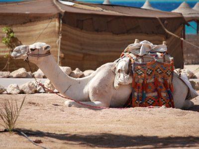 jordanisches kamel