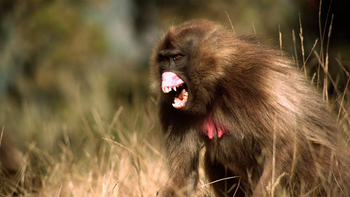 Baboons are terrifying