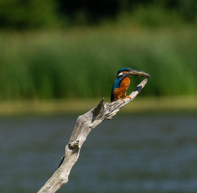 kingfisher at warnham nature reserve horsham west sussex