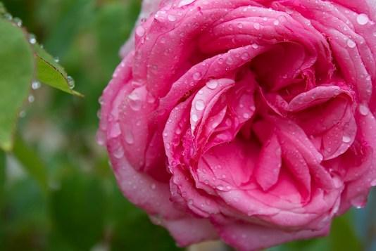 Rose Diderot II