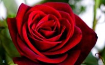 valentine-red-rose2
