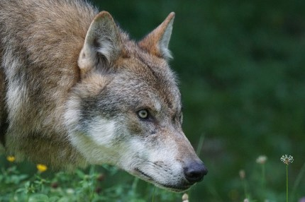 body_wolf