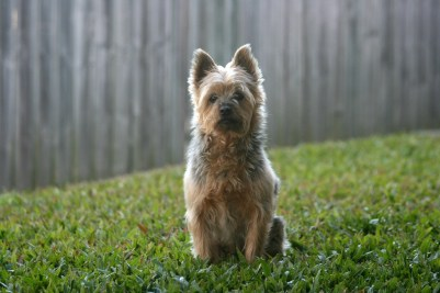 AD body_silky terrier