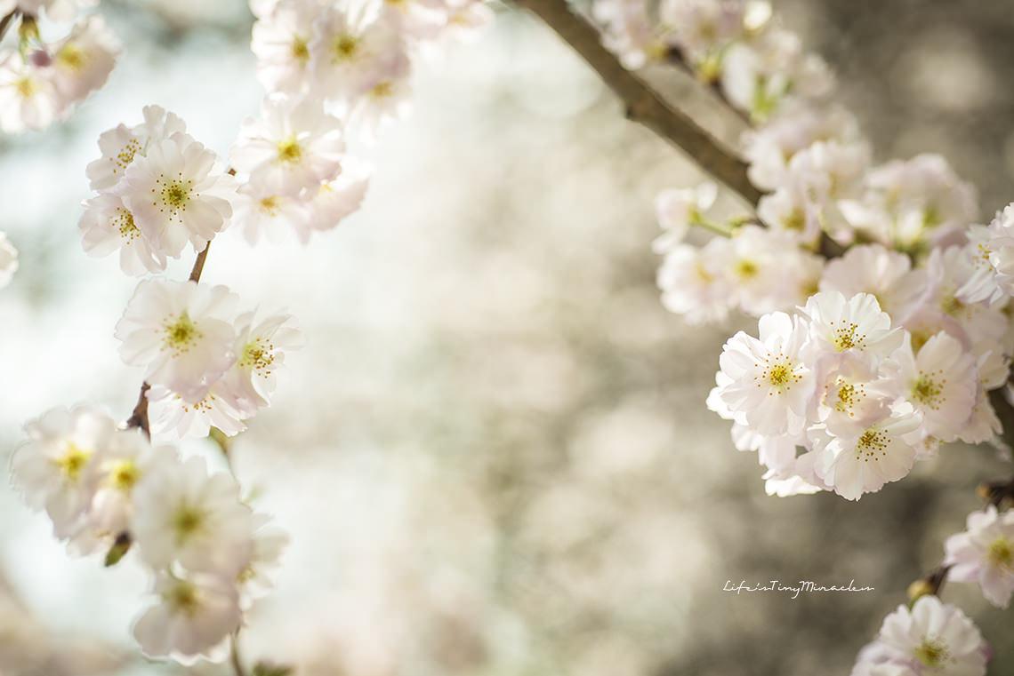 Sakura110 copy