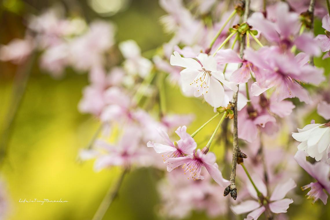 Sakura170 copy