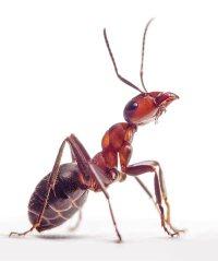 single ant