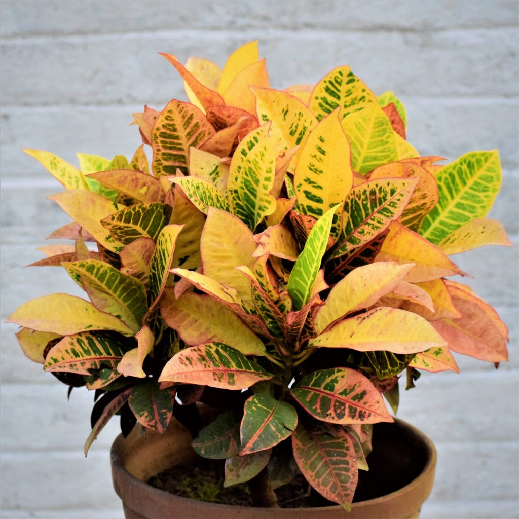Indoor Big leaf Plants to make a style statement in your house