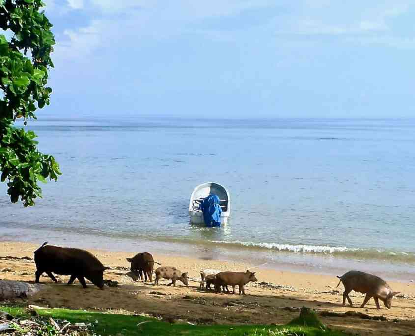 The pigs of the village at the beach