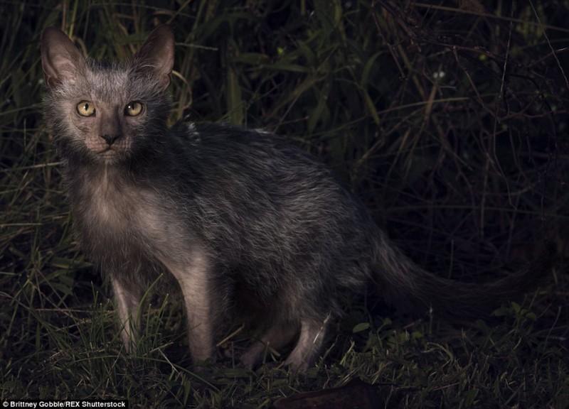 werewolf cats